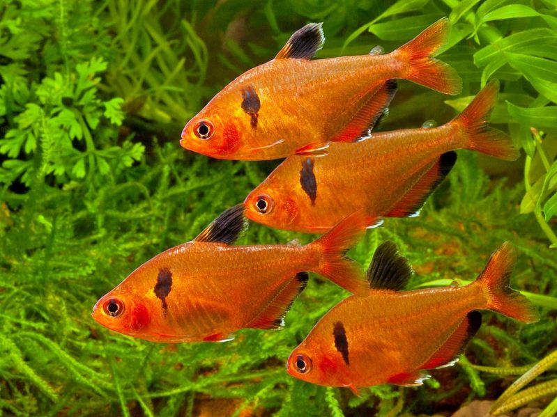 Serpae tetras freshwater fish pinterest fish for Tetra acquario