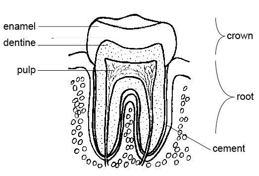 Tooth Anatomy Coloring Page: great for teaching dental health ...