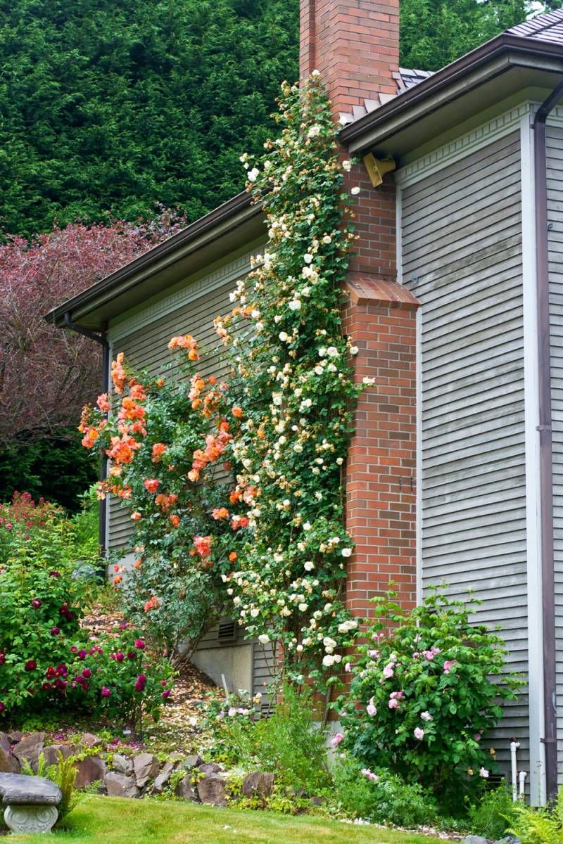 WSHG.NET | Care for Roses, Part 2 — Old Roses, Companions And Pests | Featured, For The Garden | June 11, 2015 | WestSound Home & Garden
