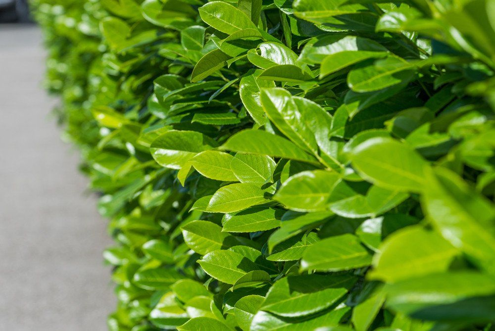 40 Fast Growing Shrubs and Bushes For Creating Privacy