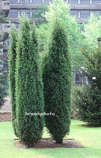 juniperus communis 39 hibernica 39 tous acide et sec ht 3. Black Bedroom Furniture Sets. Home Design Ideas