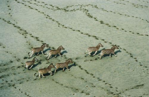 unrar:  Zebras (Equus burchelli) running. Botswana, Bobby Haas.