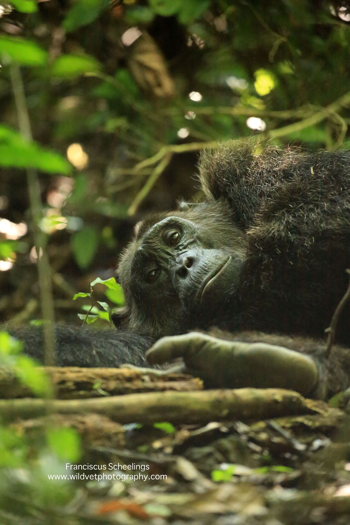 This forest floor is so comfortable An aged chimpanzee