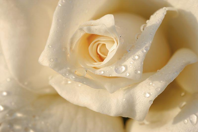 Картинки по запросу фотообои 3д роза   Beautiful roses ...