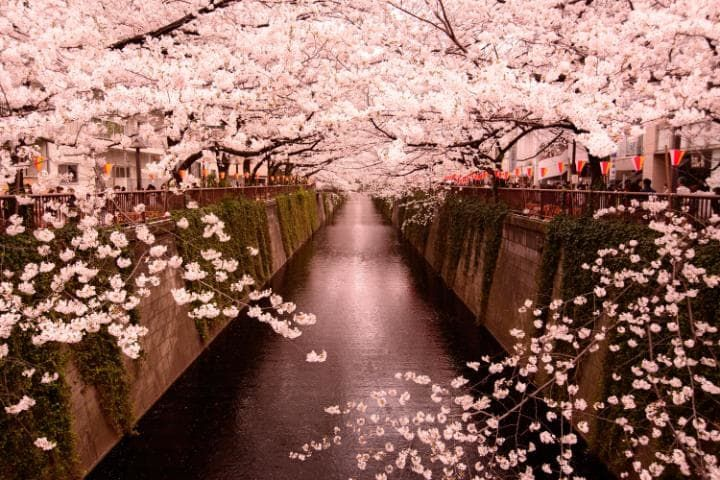 Everything You Need To Know About Seeing Cherry Blossom In Japan Cherry Blossom Pictures Cherry Blossom Japan Cherry Blossom