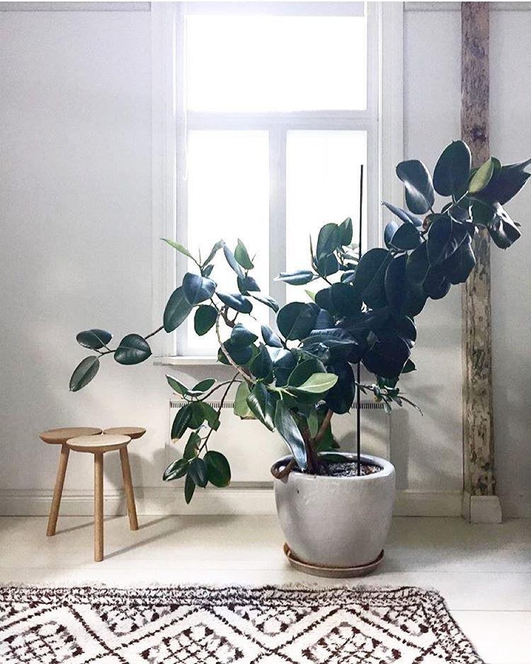 S'entourer de belles plantes : le Caoutchouc   Deco plantes interieur, Décoration plantes ...