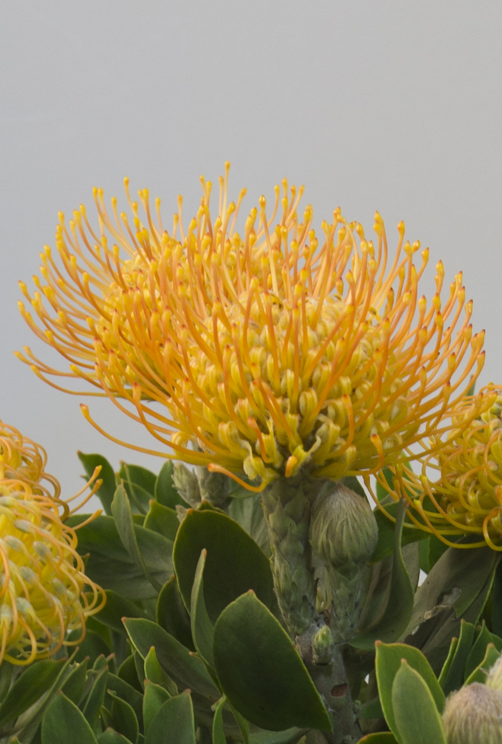 Carnival Yellow Leucospermum In 2020 Australian Flowers Yellow Plants Australian Plants