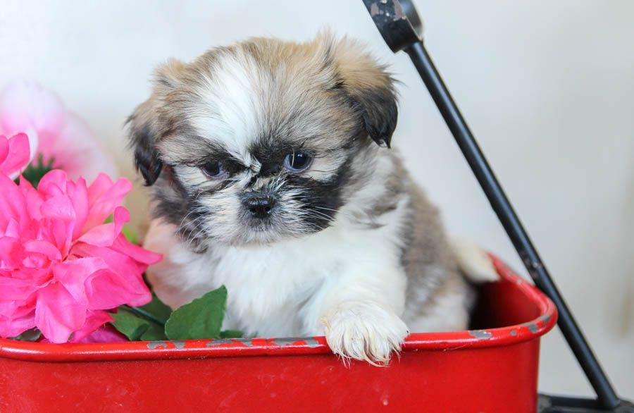 Loving Shihtzu Lancaster Puppies Shih Tzu Puppy Puppies