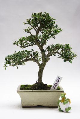 Japanese Evergreen Holly Bonsai Trees Bonsai Tree Bonsai Tree