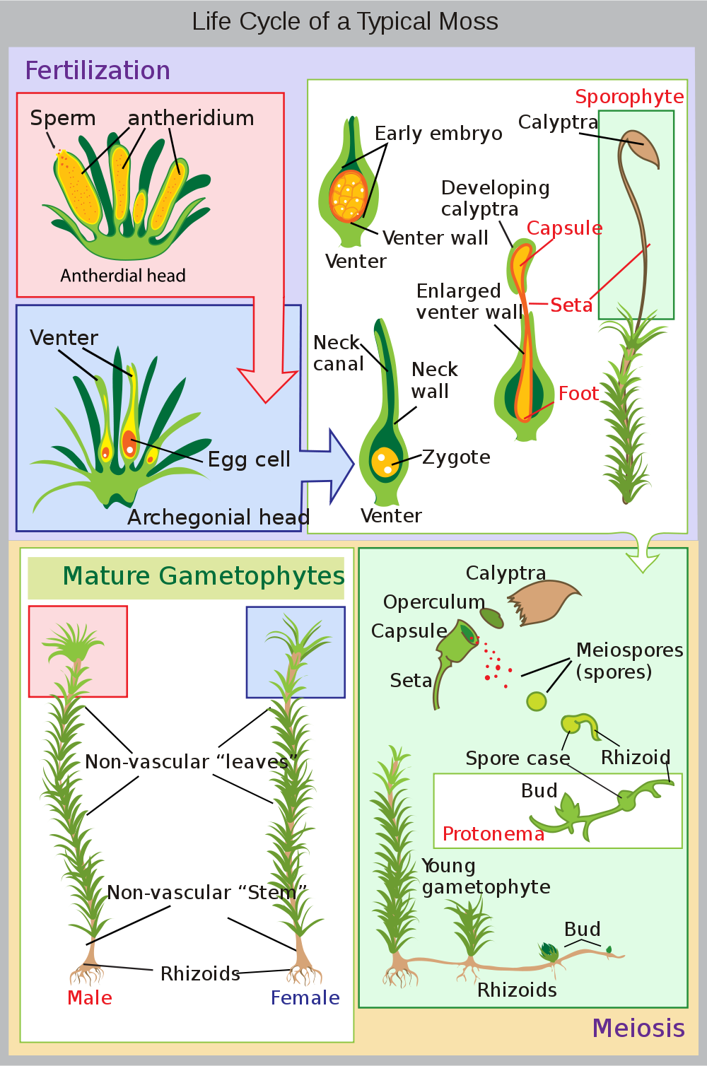 Life cycle of moss the garden pinterest gardens plants and life cycle of moss pooptronica