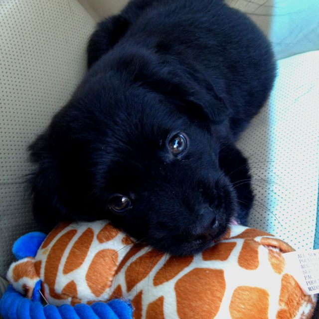 German Shepherd And Poodle Mix Mine This For Me Is The Perfect