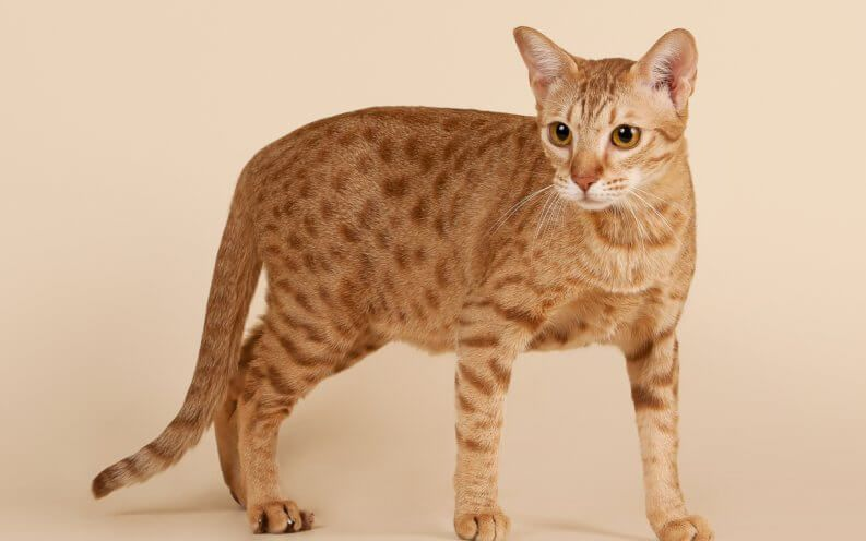 The Most Expensive Cat Breed In The World Will Stun You Cat Breeds Ocicat Siamese Cats Facts