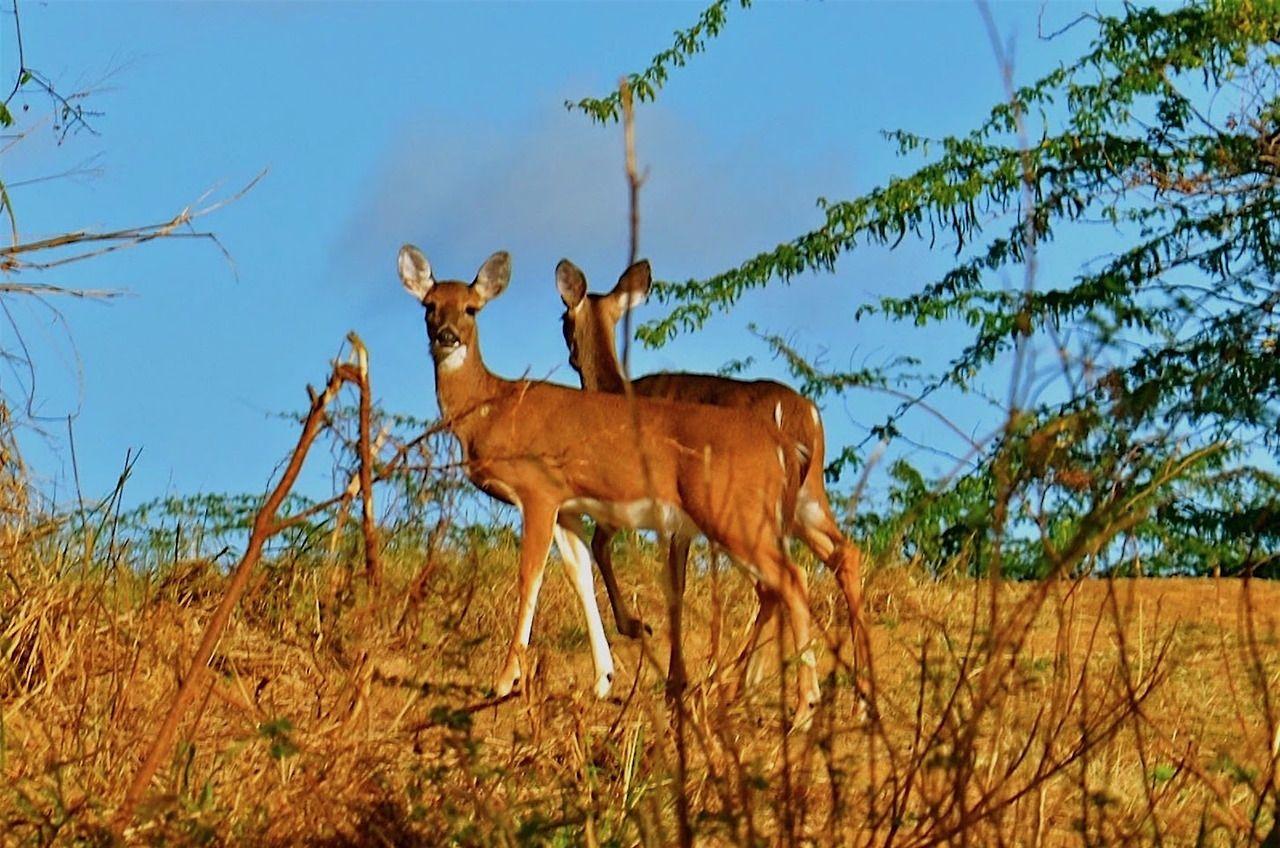 White Tailed Deer On The Way To Tamarindo Beach Culebra