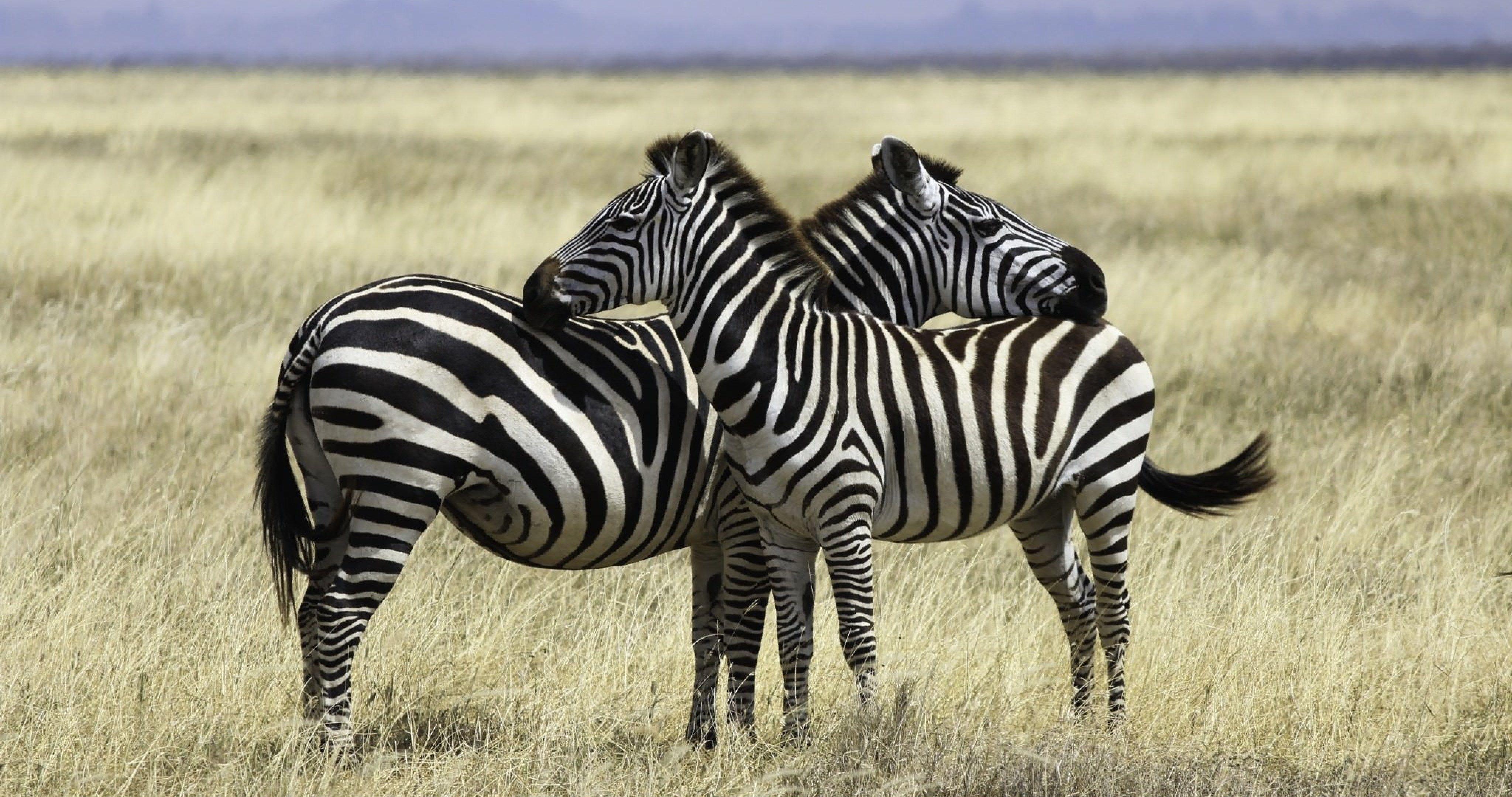 Safari Pair Of Zebras 4k Ultra Hd Wallpaper Zebras Hd Wallpaper