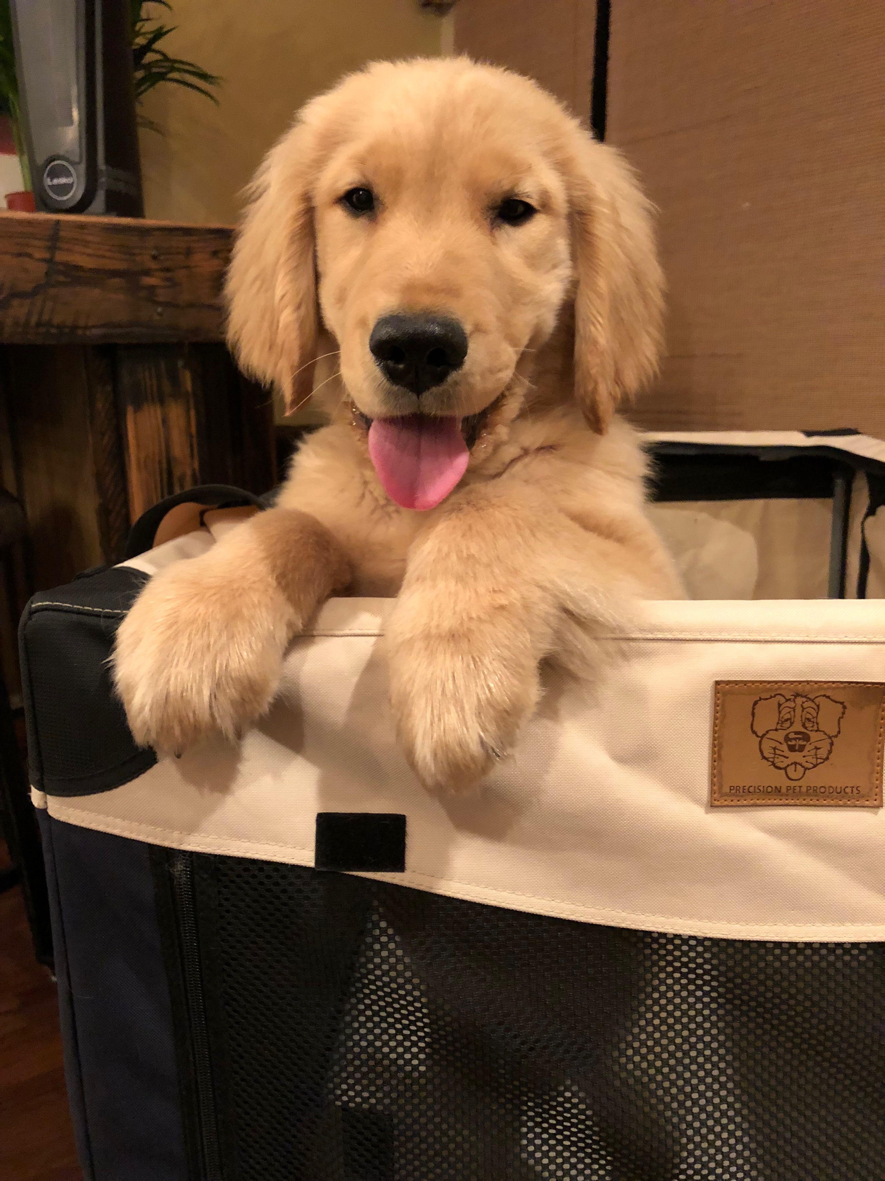Idea By Alex On Golden Retiever Puppy Lover Dogs Golden