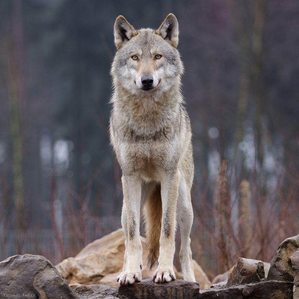 скинуть фотографию волка занимаются вольной борьбой