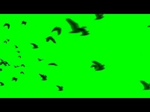 Bird Flock Flying Away Green Screen Video Backgrounds Flock Of Birds Free Green Screen
