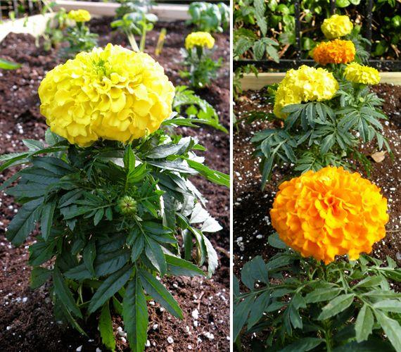 Marigolds   What\'s Growing in my Garden   Pinterest   Marigold ...
