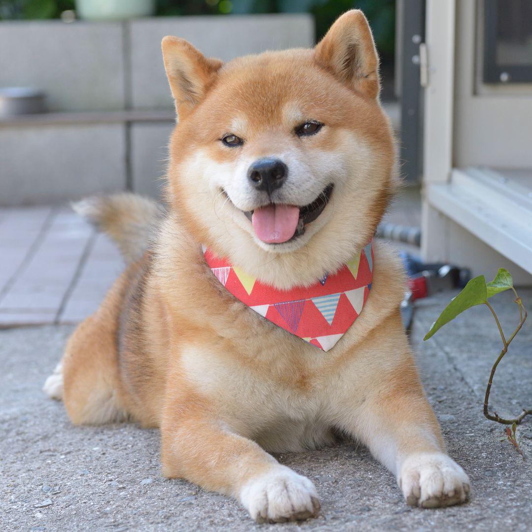 Shiba Dog Animal Cute Funny Akita Dog Dogs Shiba