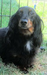 Stubbs Is An Adoptable Dachshund Dog In Carthage Mo Stubby Is A