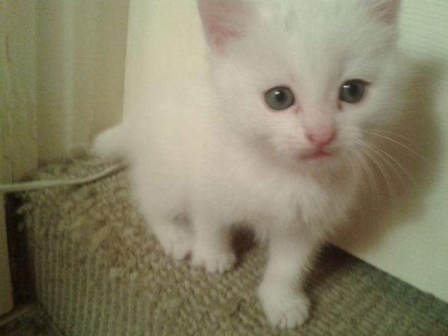 Blue Eye White Persian Kitten For Sale White Persian Kittens