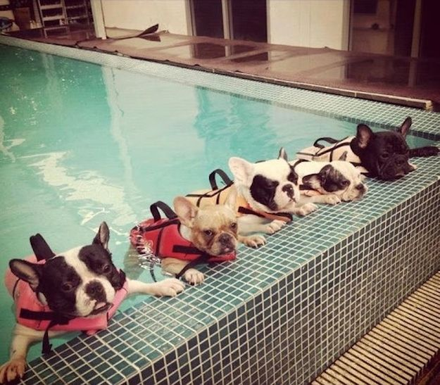 a group of french bulldogs learning how to swim