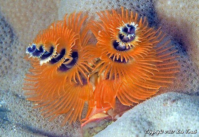 3972 Christmas Tree Worm Water Wonders Ocean Animals Sea Creatures