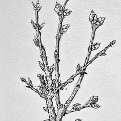 Tableau dessin encre de chine arbre lilas forsythia en - Dessin bourgeon ...
