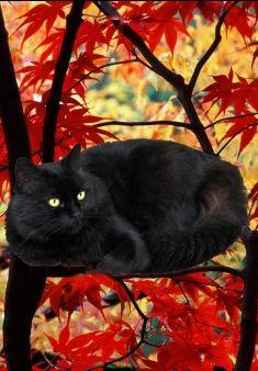 Black Cat Red Autumn Desktop Nexus Wallpapers Crazy Cats Black Cat Cats