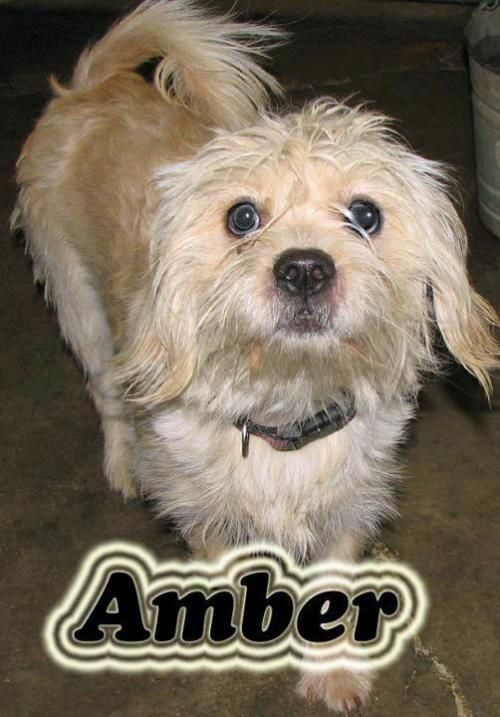Amber Is An Adoptable Cairn Terrier Bichon Frise Dog In Sparta