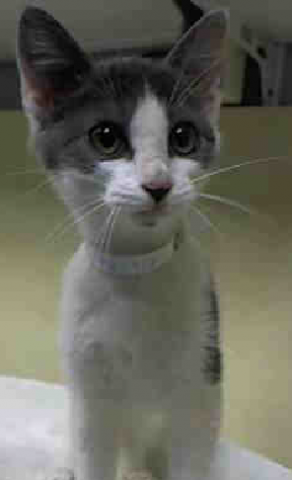 "MEMPHIS - A1051874 - - Brooklyn **TO BE DESTROYED 09/24/15** This adorable baby girl is MEMPHIS and she's said to be about 15 weeks old. In typical ACC fashion, they also called her ""Stockton"" and gave her almost NO TIME to find a foster or adoptive home. She has only been at the shelter since September 17th but tonight will be her last night on earth, unless a FOSTER or ADOPTER steps up for her! Please don't let this gorgeous little friend be lost"
