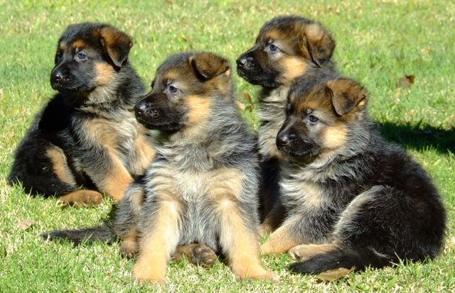 Life With German Shepherd Dogs Shepherd Puppies German Shepherd