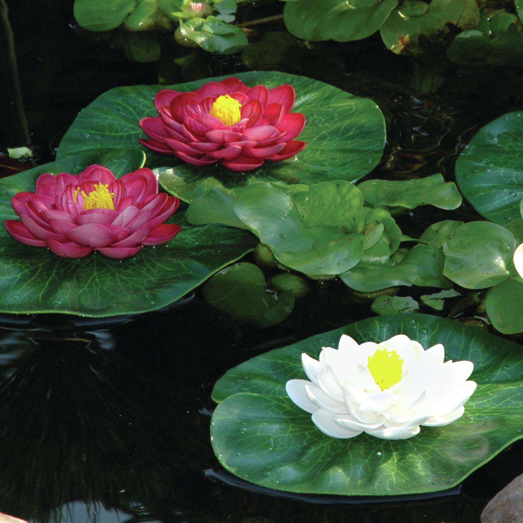 3 Piece Floating Lily Pad Set Szp Kertek Virgok Pinterest