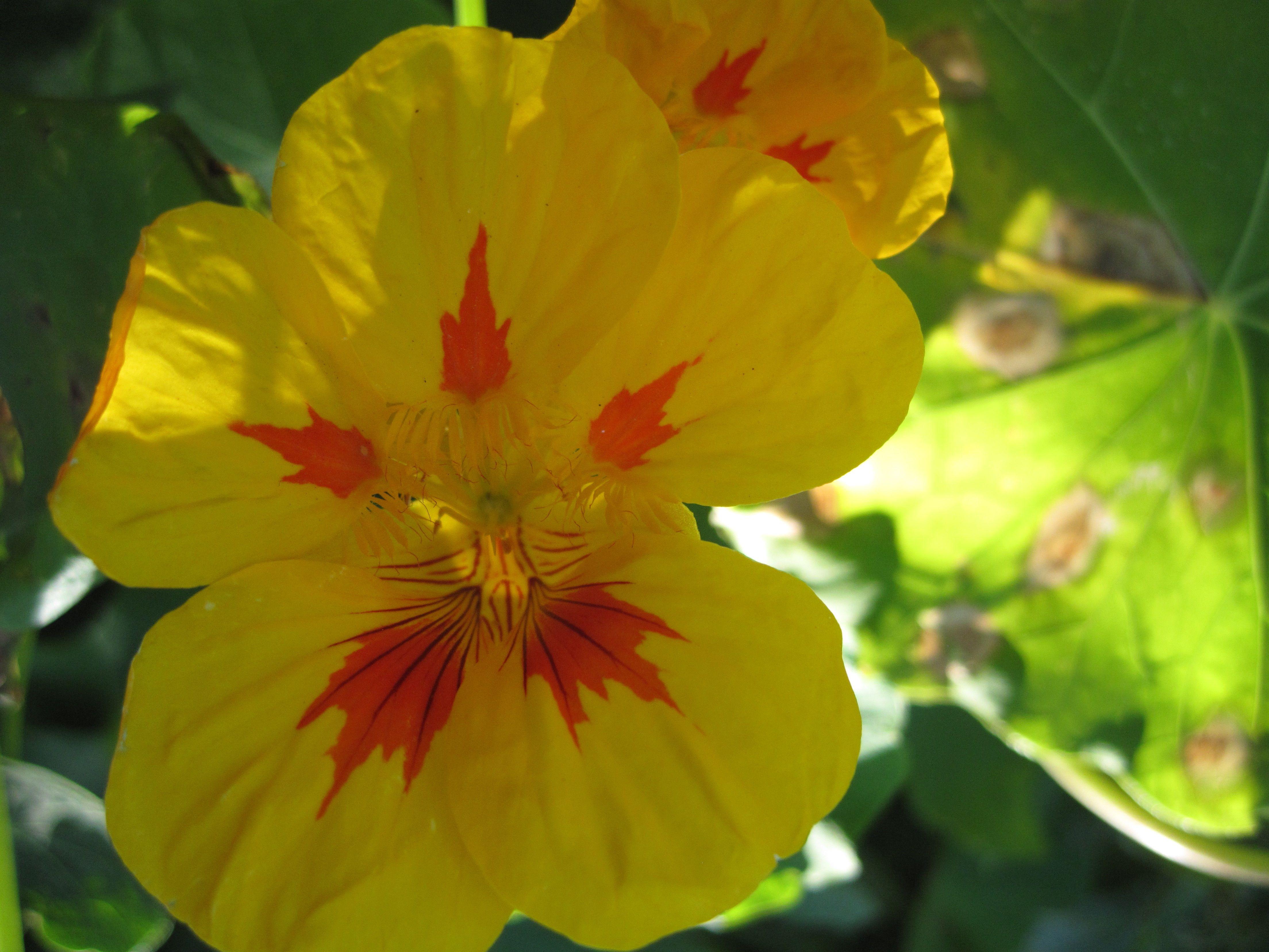 Tropaeolum majus L. (garden nasturtium / capucine / capuchina) #FilbertSteps