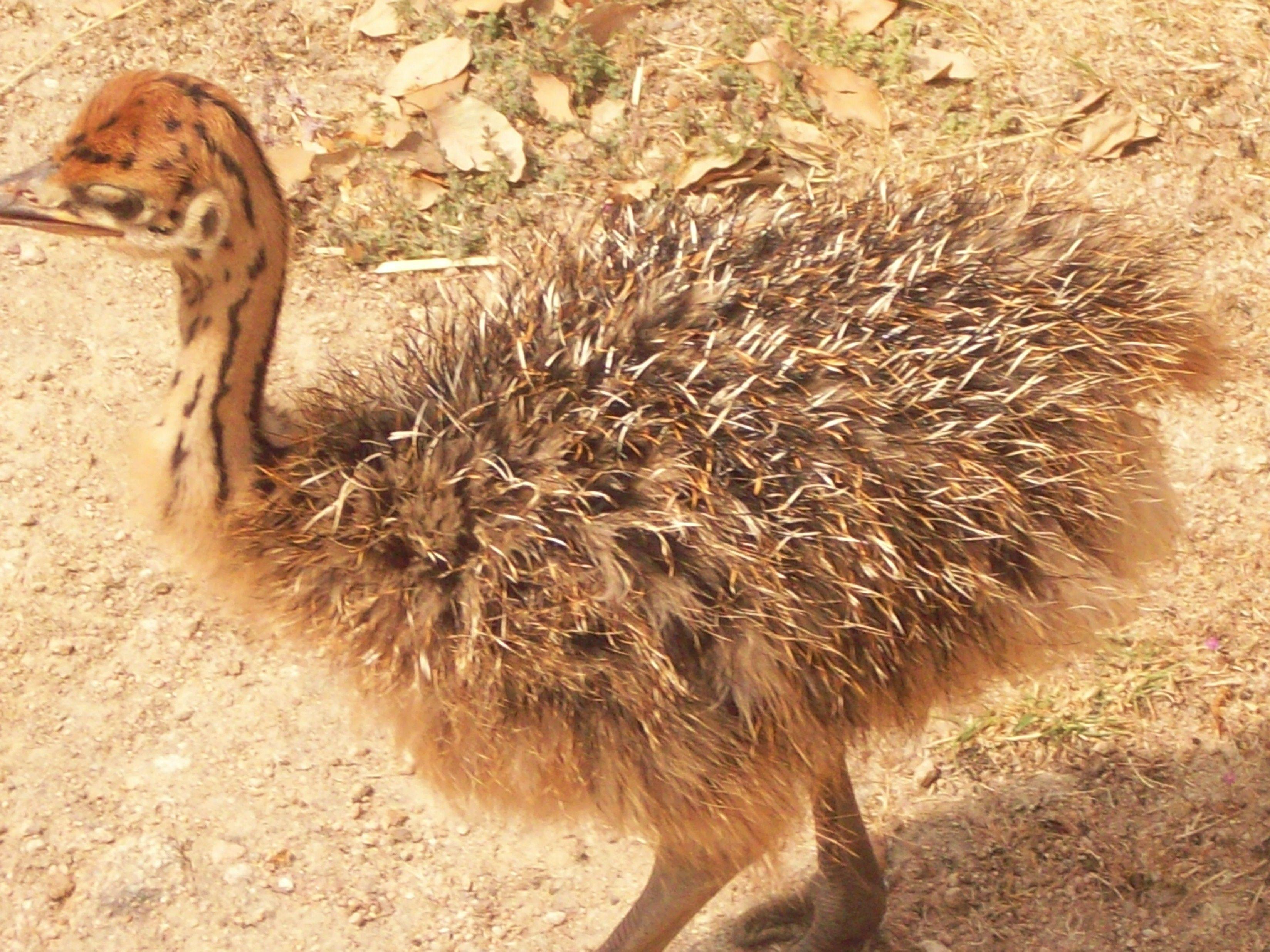 Monte selvagem avestruz bebe Monte Selvagem baby ostrich