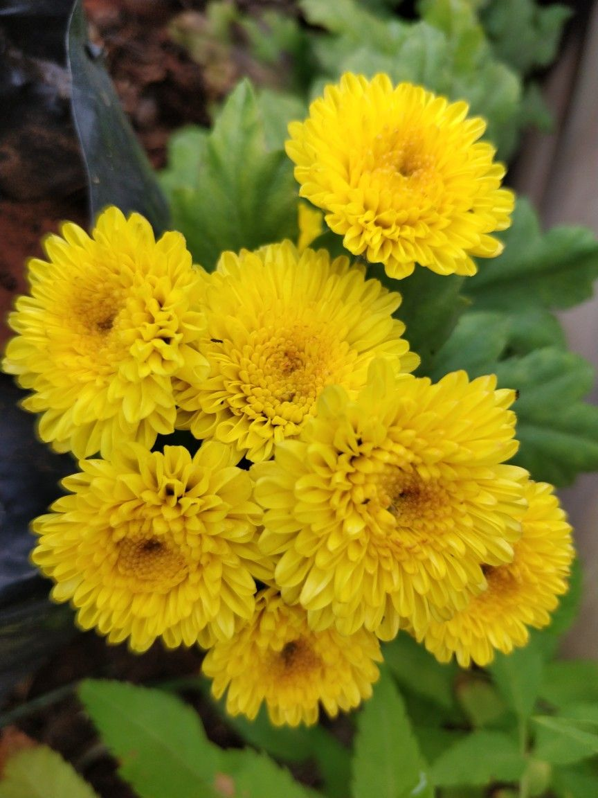 Chrysanthemum Varieties List Chrysanthemum Chrysanthemum Plant Chrysanthemum Flower