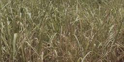 Dead Grass Png Google Search Dead Grass Herbs Grass