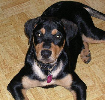 Rottweiler And German Shepard Mix Dog Breeds Dogs Rottweiler Mix