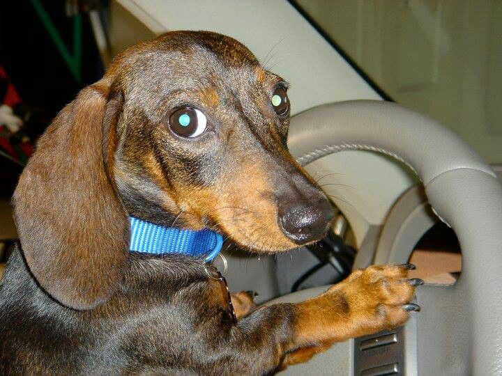 Via Furever Dachshund Rescue Funny Dachshund Pictures Funny Dog