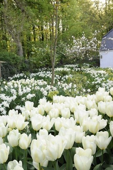 Tulips spring flowering bulbs field of flowers pinterest tulips spring flowering bulbs mightylinksfo