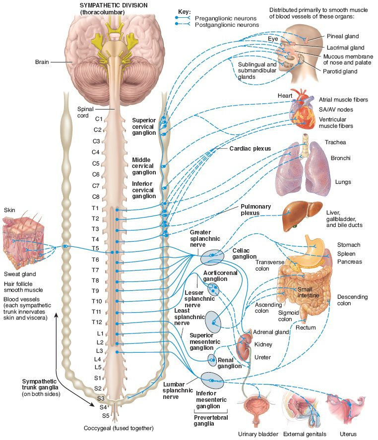 Structure of the sympathetic division of the autonomic nervous ...