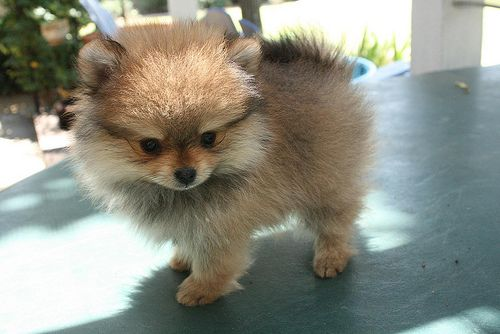 Pomeranian Bold And Inquisitive Pomeranian Puppy Puppies Cute Animals