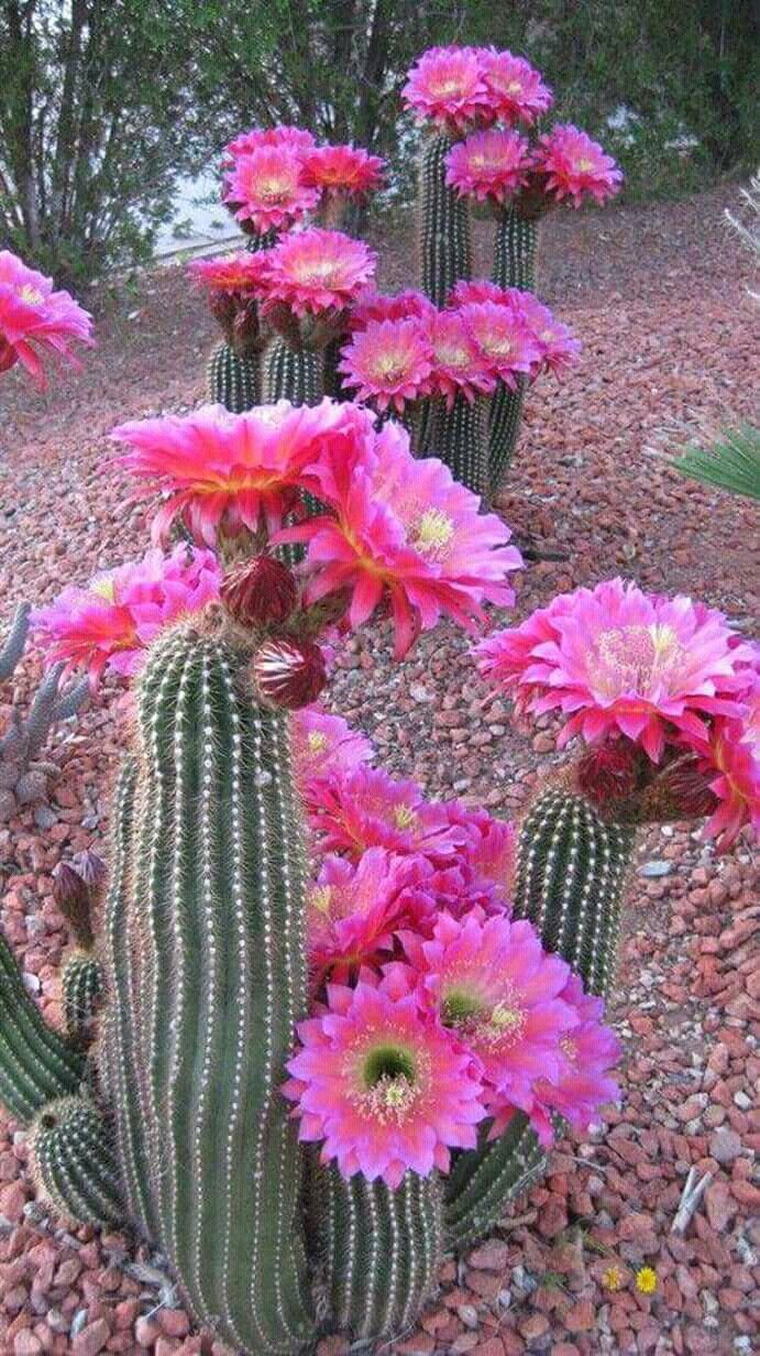 Pin By Mary On Flower Pinterest Cacti Flowers And Pretty Flowers