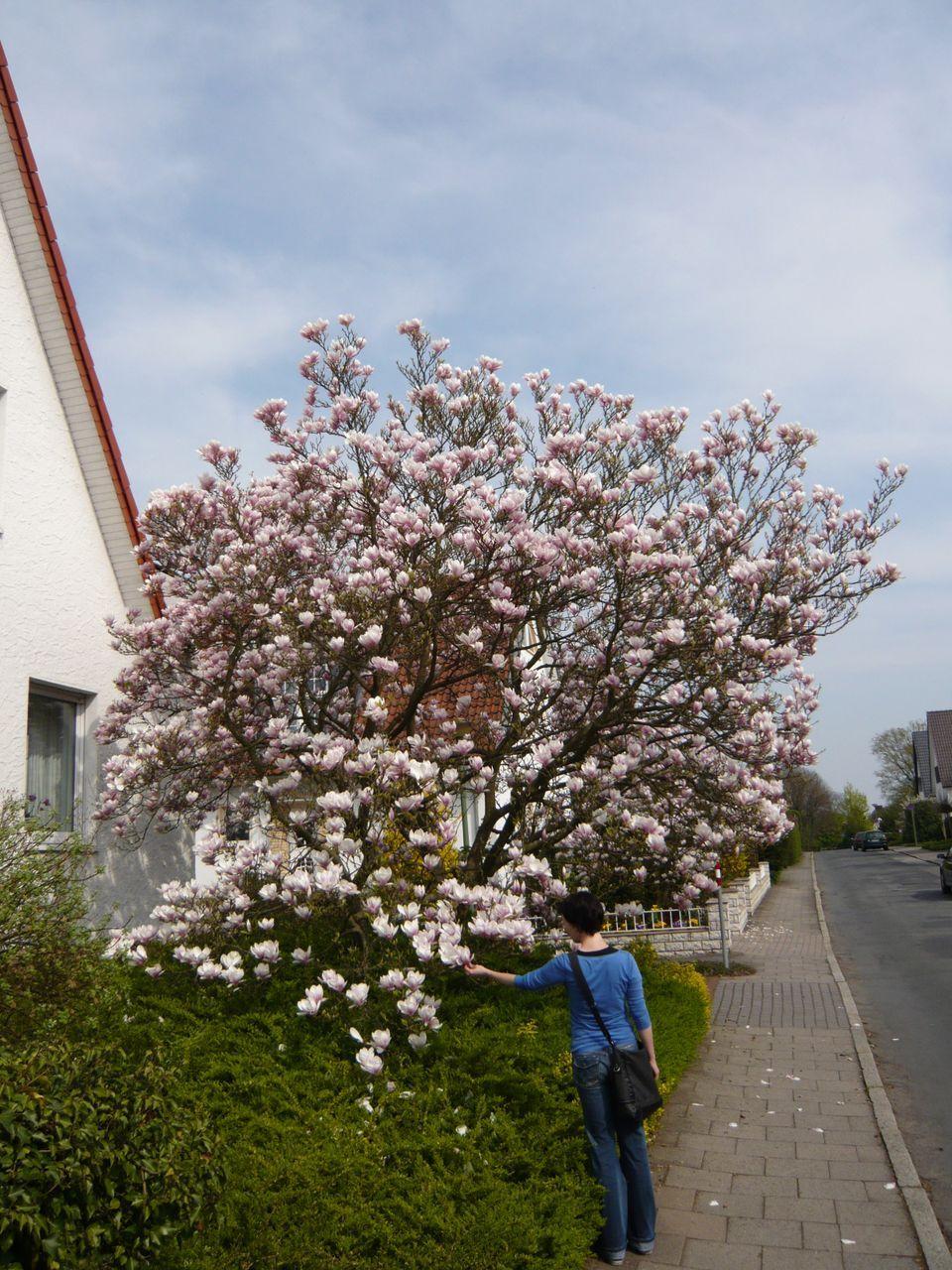 19: Magnolia soulangiana / Tulpen-Magnolie – ein Klassiker unter den Magnolien und blüht in Tulpenform bereits am April