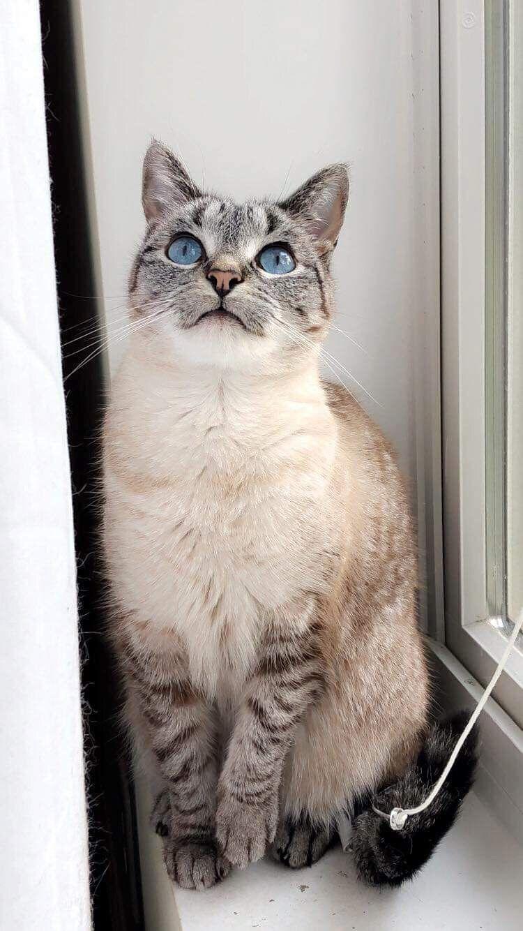 Allerpet Cat Dander Remover Cat Allergies Cat With Blue Eyes Cat Dander