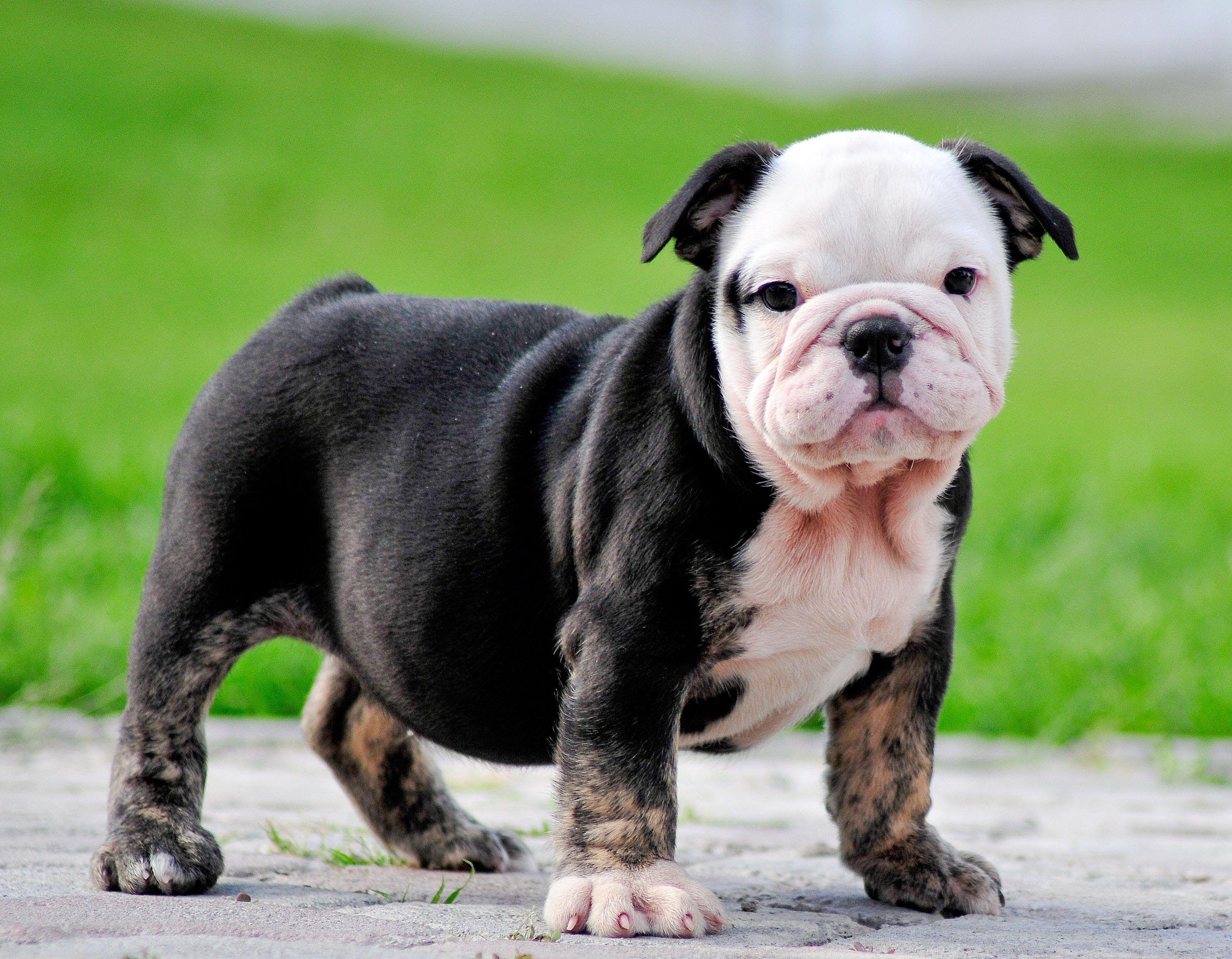 Black And Tan English Bulldog Puppy American Bulldog Puppies Bulldog Puppies Bulldog