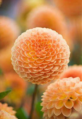 Dahlias In 2020 Beautiful Flowers Pretty Flowers Flower Seeds