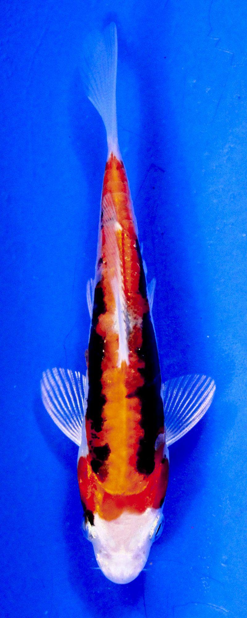 Koi Variety Guide Blue Ridge Koi Goldfish Koi Fish Koi Koi Fish Pond