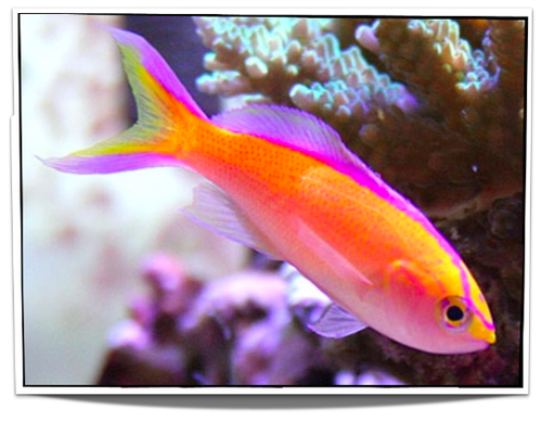 Male Sunset Anthias Fish For Sale Saltwater Fish For Sale Pet Fish