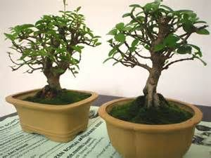 Avocado Tree Bonsai Indoor Bonsai Tree Indoor Bonsai Bonsai Tree